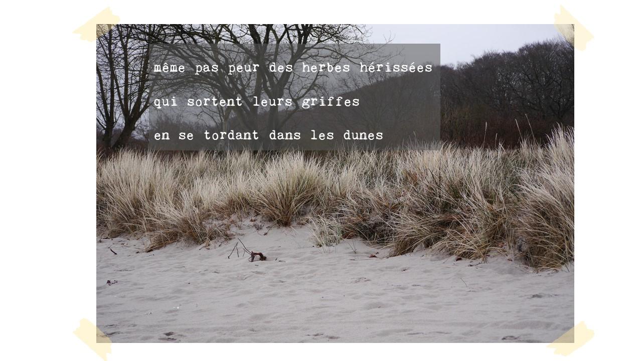 même pas peur des herbes hérissées  qui sortent leurs griffes  en se tordant dans les dunes
